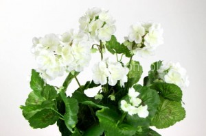 Bukiet pelargonii SUN534 (white/cream)