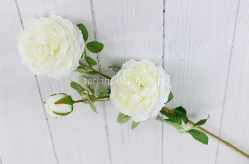 c37839c07790e9 Camelia / róża gał.